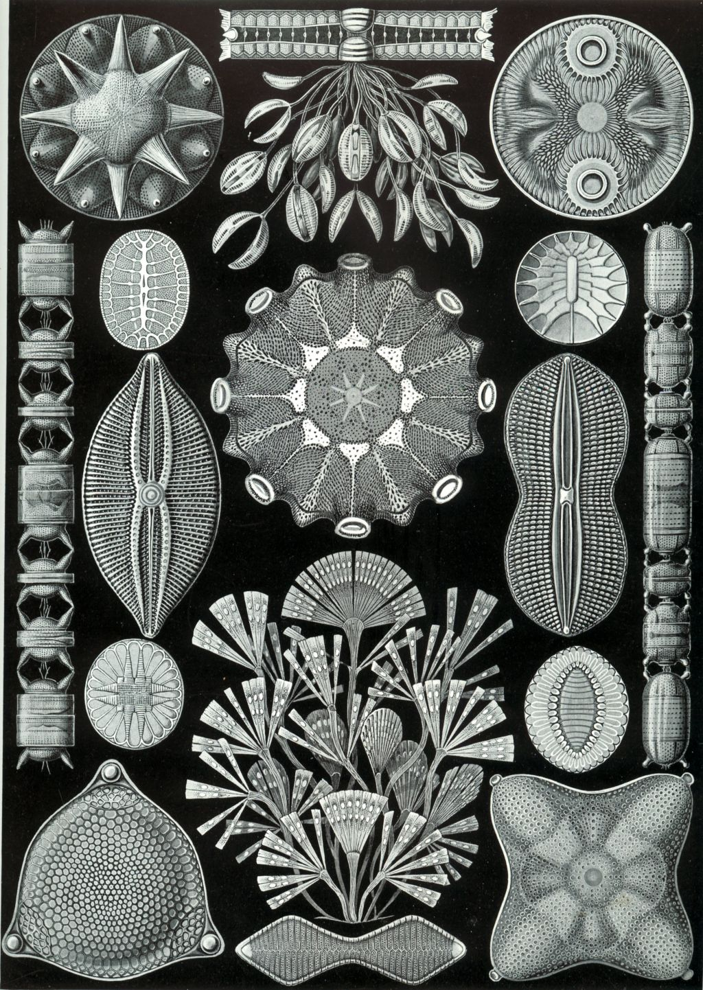 The 84th plate from Ernst Haeckel's ''Kunstformen der Natur'' (1904), depicting diatoms (Diatomea).