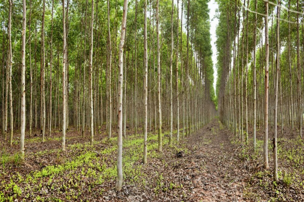 A eucalyptus plantation in Thailand where trees are harvested to make pulp for paper. SHUTTERSTOCK