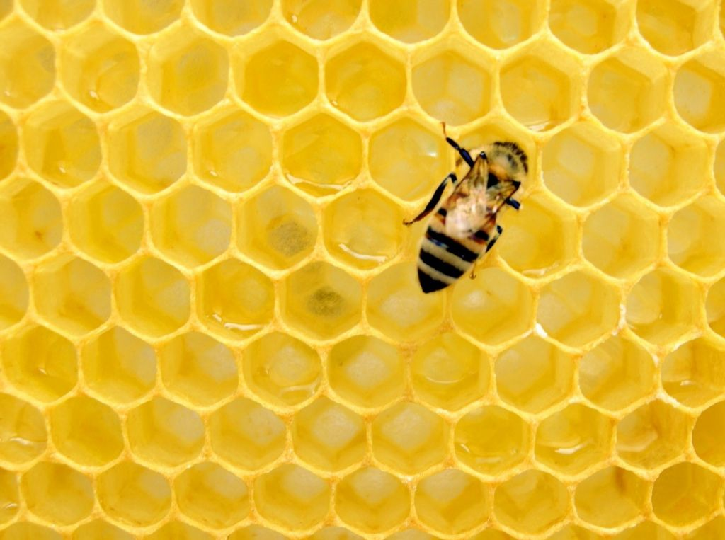 Bee in a hive by Matthew Rader.